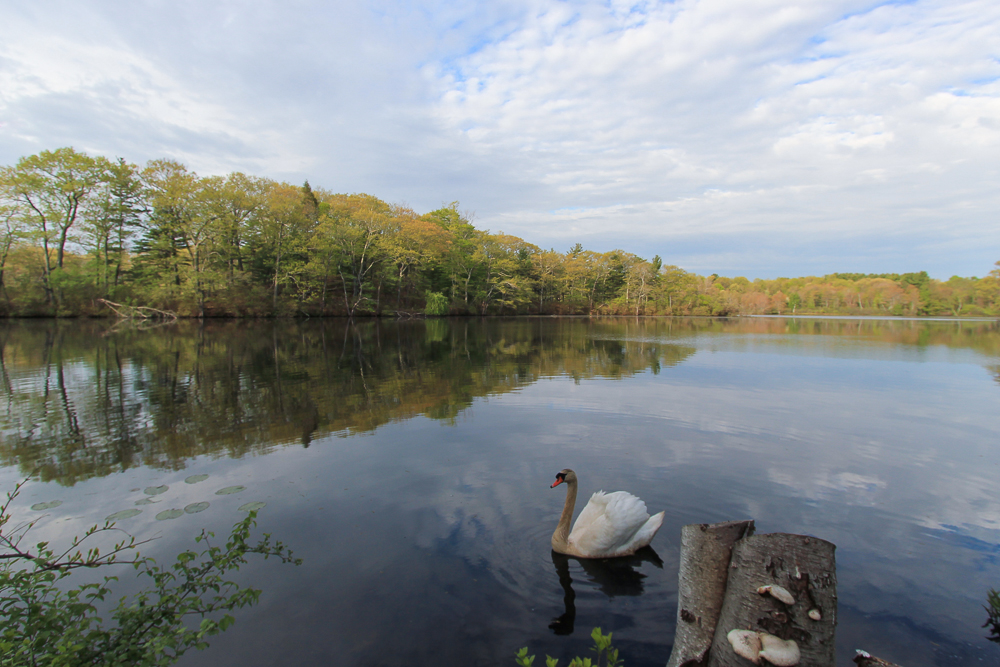 Norwood Pond Beverly MA - Swan