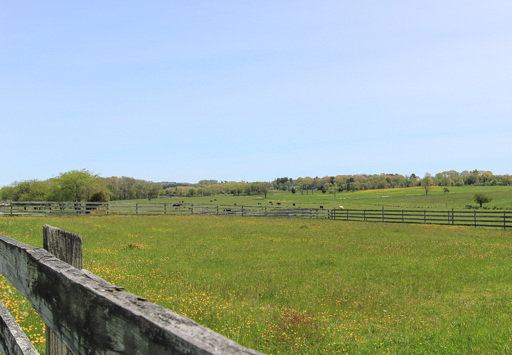 Paddock with Cows Beyond 104 Essex Road Ipswich, MA