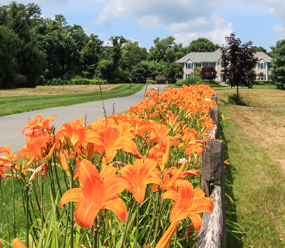 Day lilies along the fence 4 William Fairfield Drive Wenham Massachusetts